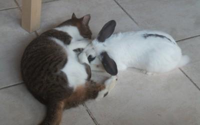 Un chat et un lapin… copains comme cochons !